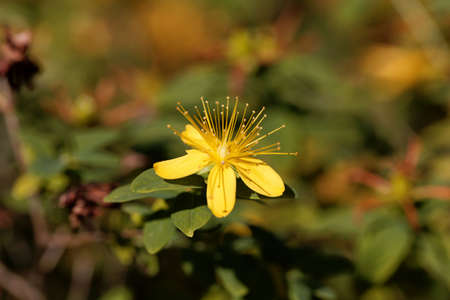 Flower of the St. Johns word Hypericum xylosteifolium Archivio Fotografico