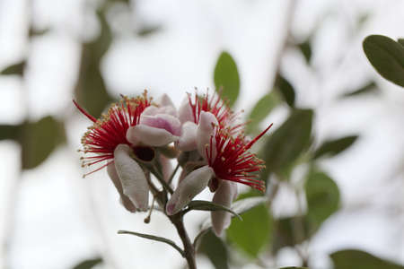 Flower of a pineapple guava tree, Acca sellowiana