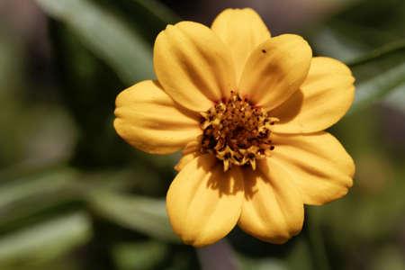 Flower of the Zinnia plant Zinnia haageana