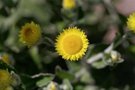 Flower of the Yellow Coastal Everlasting plant, Helichrysum decorum