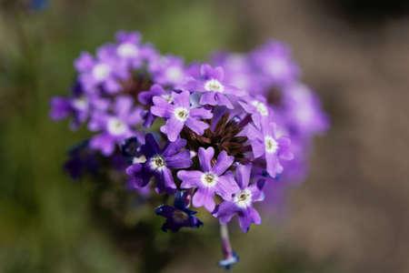 Flowers of a rock verbena, Glandularia tenera.