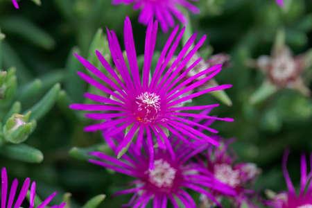 Flower of a trailing iceplant, Delosperma cooperi