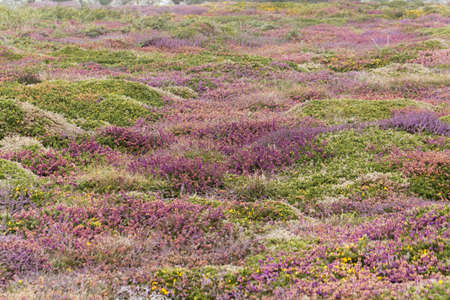 Heath flowers at the island of Ouessant or Ushant in Brittany, France.