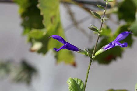 Flower of the sage plant Salvia janthina, Stock fotó