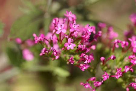 Flower of a long-spurred valerian plant, Centranthus macrosiphon