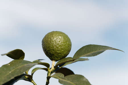 Fruit on a kaffir lime tree, Citrus hystrix, with a blue background Standard-Bild