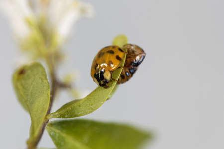 Freshly hatched Asian ladybeetle, Harmonia axyridis, with the pupa remains on a leaf.