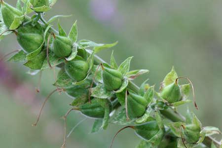 Fruits of a common foxclove plant, Digitalis purpurea