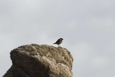 A European stonechat, Saxicola rubicola, on a rock at Ouessant Island, France