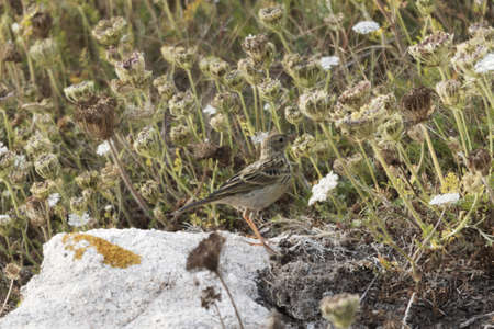 A meadow pipit, Anthus pratensis, with dry grass on Ouessant Island, France. Stockfoto