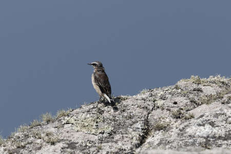 A northern wheatear, Oenanthe oenanthe, on a rock at Ouessant Island, France