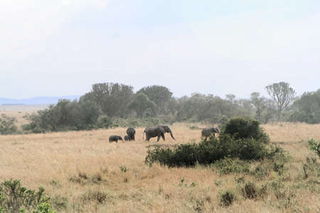 Landscape with Elephants at the Massai Mara in Kenya.