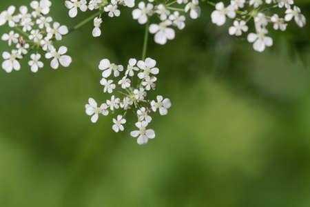 Macro photo of a cow parsley plant flower, Anthriscus sylvestris Stock Photo