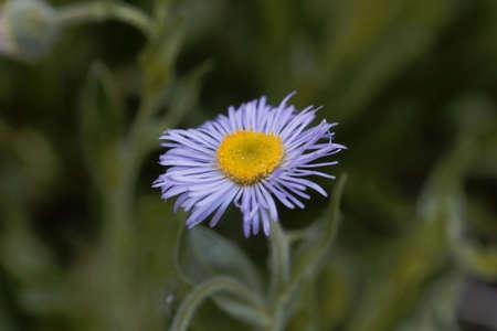 Flower of an Aspen fleabane plant, Erigeron speciosus Archivio Fotografico
