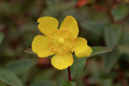 Flower the St. John's word Hypericum x moserianum