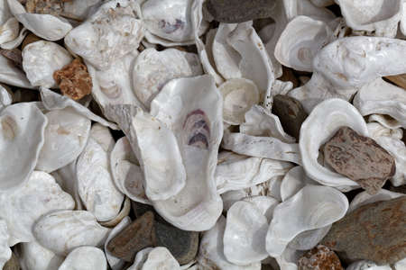 White oyster shells with pebbles on a beach.