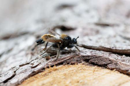 A yellow robberfly, Laphria flava, on a wooden background. 版權商用圖片