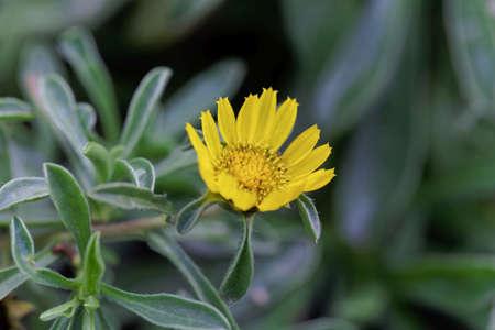 Flower of a Beach Daisy plant, Pallenis maritima