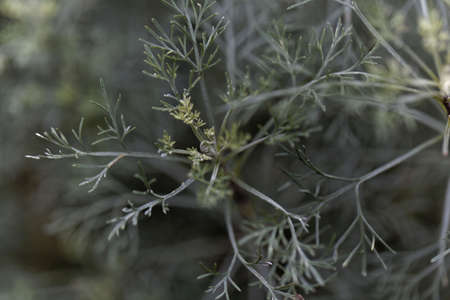 Leaves of Santonica, Artemisia cina, a medical plant from Asia.
