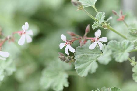 A white flower of the cultivated Perlargonium species Perlagonium fragans Standard-Bild