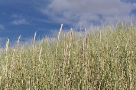 European beachgrass, Ammophila arenaria, with a blue sky.