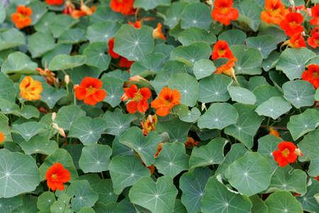 Red flowers of garden nasturtium, Tropaeolum majus, with leaves.