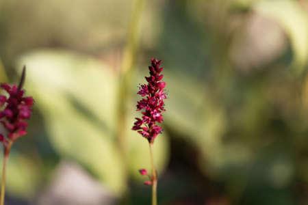 A flower of a red bistort, Bistorta amplexicaulis. Standard-Bild