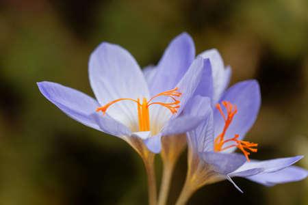 Flowers of the autumn flowering crocus Crocus aitchisonii