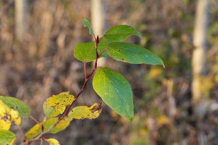 Leaves of a black cottonwood tree, Populus trichocarpa.