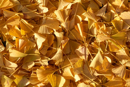 Yellow ginkgo tree leaves as background or texture. Standard-Bild