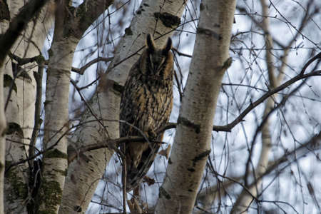 A long-eared owl, Asio otus, in a birch tree.