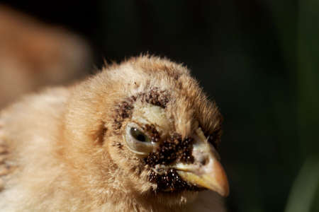 Young chicken with a heavy sticktight flea infestation on the face.