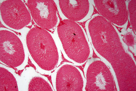 Microscope photo of a section through cells of rabbit testicles 스톡 콘텐츠