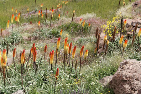 Flower of the torch lily Kniphofia foliosa, in the Simien Mountains in Ethiopia, East Africa.