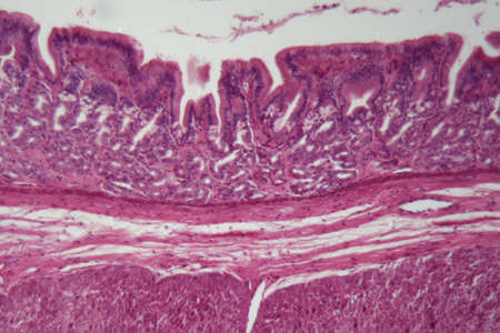 Microscope photo of a section through dog smooth muscle cells Standard-Bild