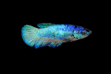 A female and blue colored Siamese fighting fish, Betta splendens, with a black background. 스톡 콘텐츠