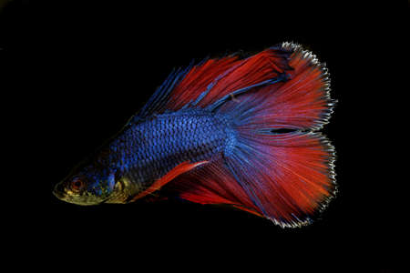 A male and rainbow colored Siamese fighting fish, Betta splendens, with a black background.