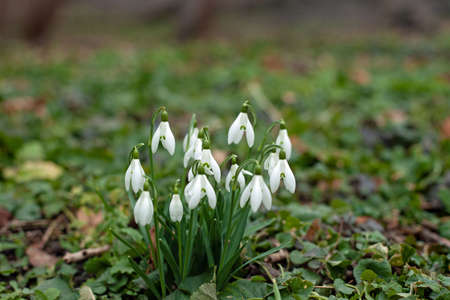 Wild snowdrop plant and flowers, Galanthus nivalis, in a forest.