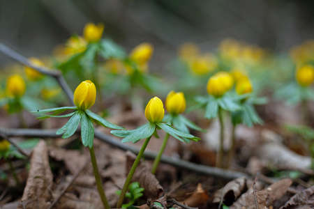 Winter aconite plants and flowers, Eranthis hyemalis, on a forest floor.