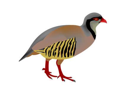 Illustration of a rock partridge, Alectoris graeca Banque d'images