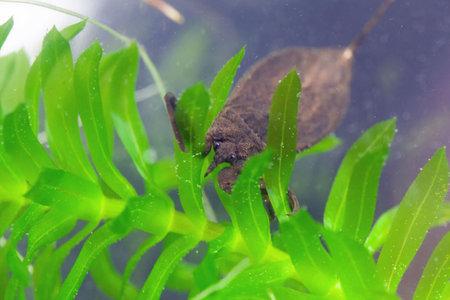 A water scorpion, Nepa cinerea, on a water plant.