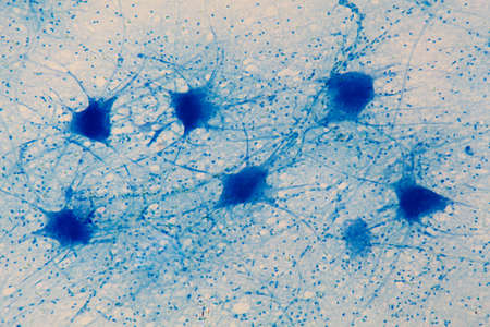 Motor neuron cells under the microscope Banque d'images
