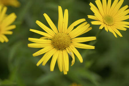 Flower of an oxe eye plant, Buphthalmum salicifolium