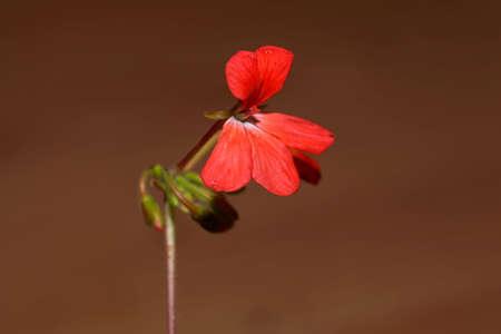 Macro photo of a flower of a Pelargonium zonale Stock Photo