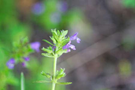 Flower of a basil thyme plant, Clinopodium acinos