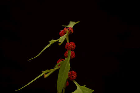 Berries of a Strawberry blite plant, Blitum capitatum, with a black background.