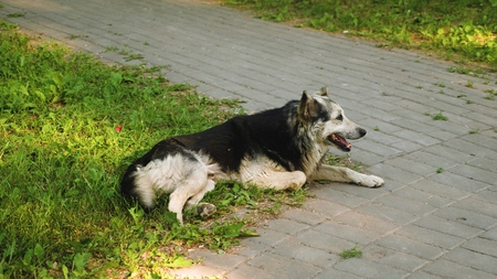 big adult dog guards yard, dog lies on a green lawn Banque d'images
