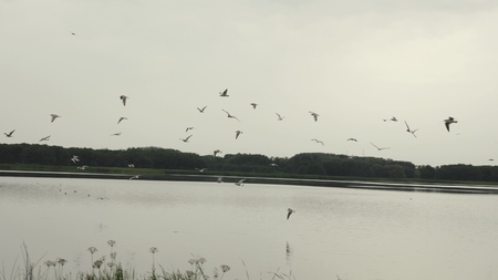 flock of seagulls flying over the lake. birds fly over the water and fish. Slow motion Stok Fotoğraf