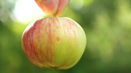 pommes mûres à la main. les pommes rouges mûres tiennent avec les doigts. fermer
