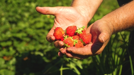 gardener palm shows delicious strawberries in summer in the garden. close-up. Male hand shows red strawberries in his hands. farmer gathers ripe berry.